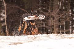 Doberman Sony Royalty Free Stock Image