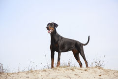 Doberman standing in the sand Stock Images