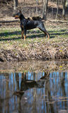 Doberman standing by water Royalty Free Stock Photos