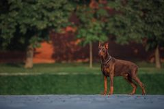 Doberman stands on the red square in Moscow stock photos