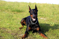Doberman sunbathing Royalty Free Stock Photo