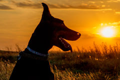 Doberman at sunset. Dog breed Doberman in the field on a background of orange sunset Royalty Free Stock Images