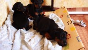 Doberman sveglio della razza dei cuccioli pronto per il letto Pochi cani del ` archivi video