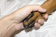 Doberman szczeniaka czerni łapa z pazurami w ludzkim ręki zakończeniu zdjęcia stock