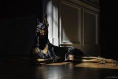 Doberman w słońcu Obrazy Royalty Free