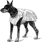 Doberman on a walk Royalty Free Stock Image