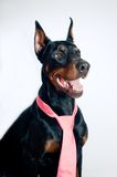 Doberman wearing pink tie Stock Photo