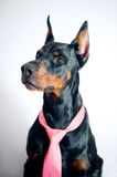 Doberman wearing pink tie Royalty Free Stock Photography