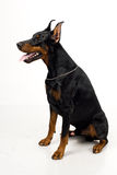 Doberman on white background Royalty Free Stock Photography