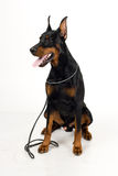 Doberman on white background Royalty Free Stock Photo
