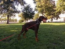 Doberman. Young doberman dog in the park Royalty Free Stock Photography