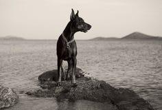 dobermanhund för clipping 3d över white för banaframförandeskugga Arkivbild
