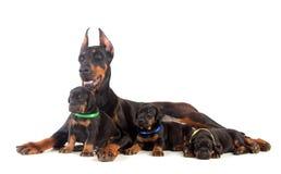 Dobermanhund med valpar Fotografering för Bildbyråer
