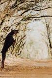 Dobermanhunden hoppar P? bakgrunden av h?sttr?d Solnedg?ng royaltyfri foto