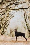 Dobermanhundstag P? bakgrunden av h?sttr?d Solnedg?ng arkivfoton