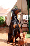 Dobermann和Dobermann短毛猎犬 图库摄影