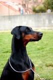 Dobermann黑色母狗小狗 图库摄影