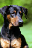 Dobermann Image stock
