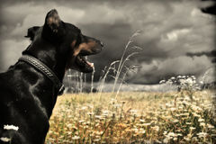 Dobermann Stockbild