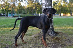 dobermann Stockbilder