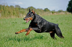 Dobermann. Black dobermann jumping on the grass Royalty Free Stock Image
