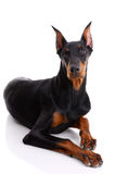 Dobermann Lizenzfreie Stockfotos
