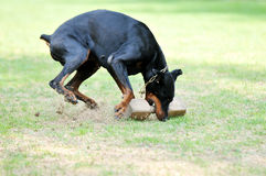 Dobermann Stock Photography