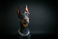 Dobermann auf einem schwarzen Hintergrund Lizenzfreies Stockfoto