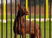 Dobermann Behind Bars. Dobermann in hotel for dogs Royalty Free Stock Photo
