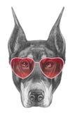 Dobermann dans l'amour ! Portrait de Pinscher de dobermann avec des lunettes de soleil Image libre de droits