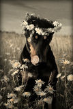 Dobermann dans les daysies Photos stock