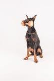 Dobermann de chien d'utilité tenant des dumbells dans la bouche Photo libre de droits