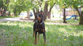 Dobermann, der auf das Gras geht stock footage