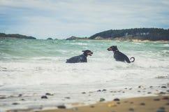 Dobermann, die im Meer spielen und schwimmen Wales, Cymru Stockfotografie