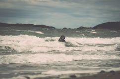 Dobermann, die im Meer spielen und schwimmen Wales, Cymru Stockfotos