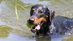 Dobermann die met bal zwemmen stock fotografie