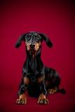 Dobermann die op rode achtergrond liggen Stock Afbeelding