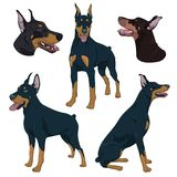 Doberman Pinscher set isolated on white background. Watchdog hand drawn illustration. Dobermann in different poses. Purebred dog portraits and canine sitting Stock Photos