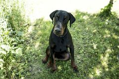 The Dobermann or Doberman Pinscher. In the United States and Canada, is a medium-large breed of domestic dog originally developed around 1890 by Karl Friedrich royalty free stock image
