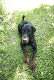 The Dobermann or Doberman Pinscher. In the United States and Canada, is a medium-large breed of domestic dog originally developed around 1890 by Karl Friedrich royalty free stock photography