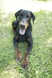 The Dobermann or Doberman Pinscher. In the United States and Canada, is a medium-large breed of domestic dog originally developed around 1890 by Karl Friedrich stock photo