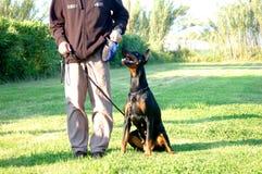 Dobermann dziwka w szkoleniu Zdjęcie Royalty Free
