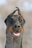 Dobermann face Stock Photos