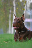 Dobermann On The Grass Royalty Free Stock Photo