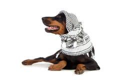 Dobermann hund i svart kufiya Royaltyfri Foto