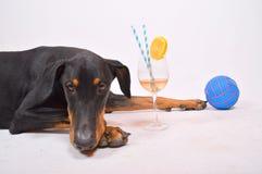 Dobermann im Studio Lizenzfreies Stockfoto