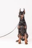 Dobermann masculin de Yound écoutant soigneusement tout en se reposant Images stock