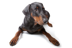 Dobermann no fundo branco Fotografia de Stock Royalty Free