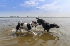 Dobermann och amerikansk bulldogg som har gyckel i vattnet Fotografering för Bildbyråer
