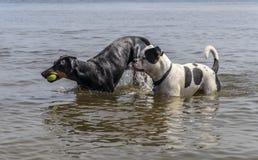 Dobermann och amerikansk bulldogg som har gyckel i vattnet Royaltyfria Bilder